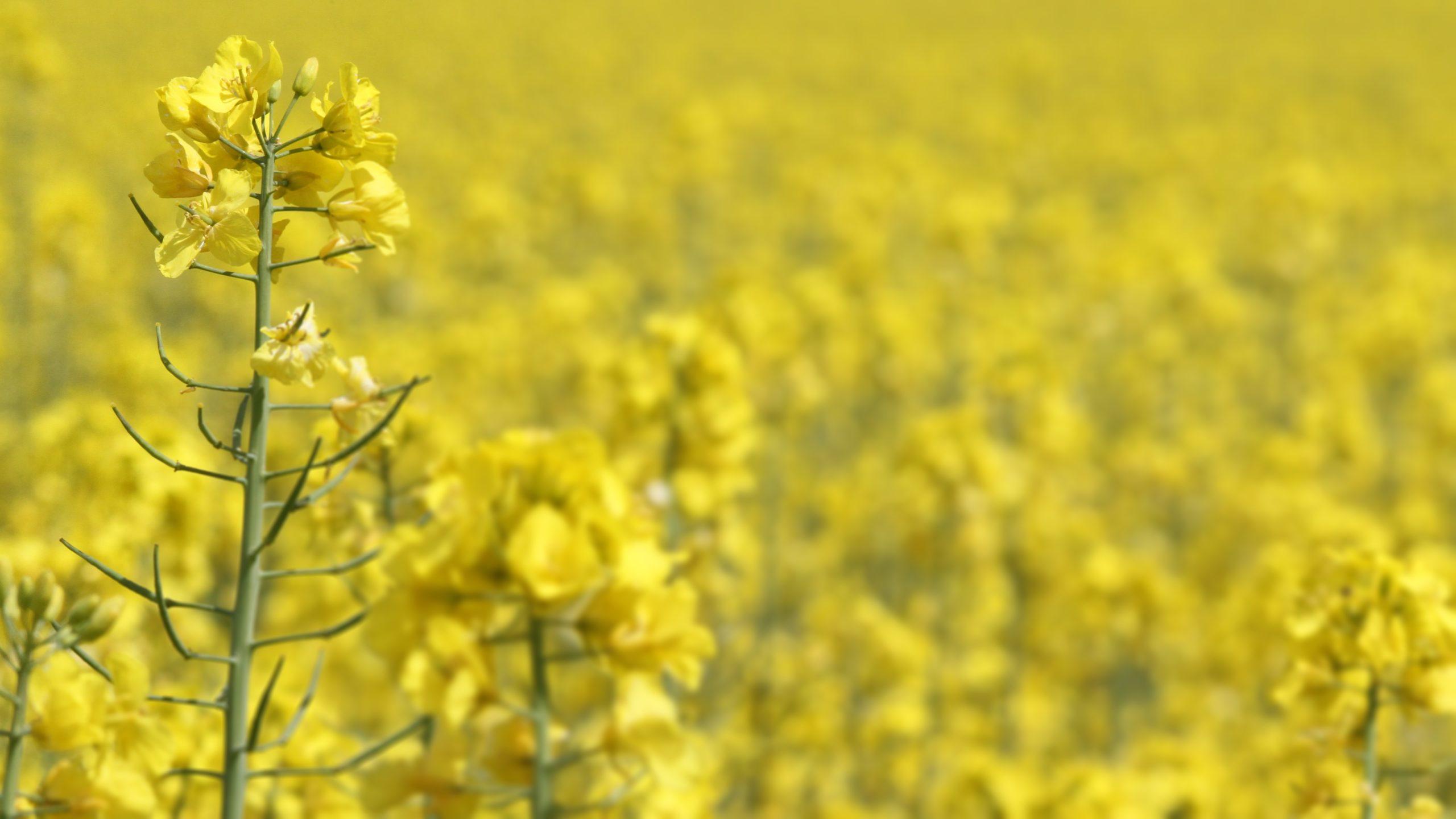 oilseed-rape-3394517-scaled.jpg